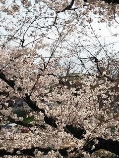 後楽園の桜.JPG